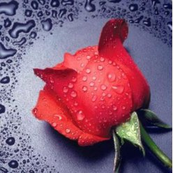 diamond painting 22x24  la rose rouge